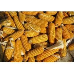 柳鹿社区 玉米 1.1元/根 150g/根